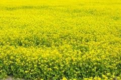 Musztarda kwiatu pole jest folującym kwitnieniem Obraz Royalty Free