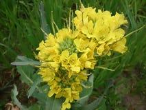 Musztarda kwiaty fotografia royalty free
