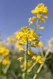 Musztarda kwitnie na słonecznym dniu Zdjęcie Stock
