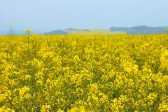 Musztarda segregująca, musztardy gospodarstwo rolne, musztarda ogród, musztardy gospodarstwo rolne w Luksemburg, Europa Fotografia Stock