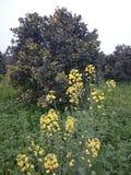 Musztardy roślina obraz royalty free