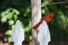 Muta cardinale nordica che si siede sul recinto bianco Fotografia Stock