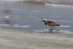 Muta di Ruddy Turnstone nelle piume della molla su Texas Beach Fotografia Stock Libera da Diritti