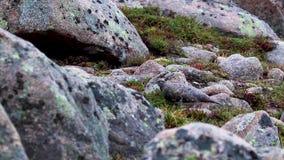 Muta femenino del Lagopus de la perdiz nival que camina entre el pedregal a finales de agosto en los cuarzos ahumados parque naci almacen de video