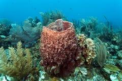 Muta géant de Xestospongia d'éponge de baril Photo stock