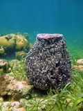 Muta géant de Xestospongia d'éponge de baril Image libre de droits