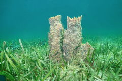 Muta géant de Xestospongia d'éponge de baril d'espèce marine Images stock