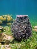Muta gigante de Xestospongia de la esponja del barril Imagen de archivo libre de regalías
