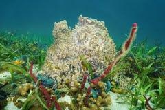 Muta gigante de Xestospongia de la esponja del barril subacuático Imágenes de archivo libres de regalías