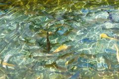 Mutant colorful specimen of rainbow trout in the pond. White, blue, yellow, plain and spotted fish. Mutant colorful specimen of rainbow trout in the pond. White royalty free stock images