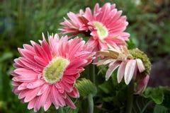 Mutant Gerber-Gänseblümchen Stockfoto