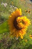 Mutant-Sonnenblumen Stockfoto