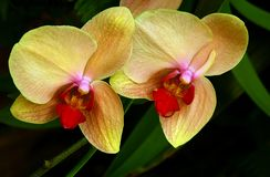 Mutanta ćma orchidee zdjęcia stock