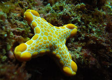 Mutated Sea star or Starfish with 4 legs Royalty Free Stock Photography