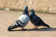 Mute dialogue. Marriage games of two pigeons Royalty Free Stock Images