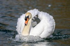 Mute male swan swimming on water. Black background water ripples and reflection Royalty Free Stock Photos