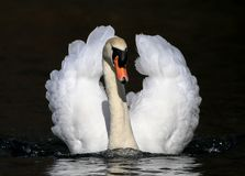 Mute male swan swimming on water. Black background water ripples and reflection Royalty Free Stock Photography