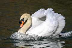 Mute male swan swimming on water. Black background water ripples and reflection Stock Photos