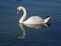 Mute Swan. A mute swan in a park pond Royalty Free Stock Image