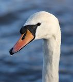 Mute Swan. Portrait of a male Mute Swan covered in water droplets Stock Image