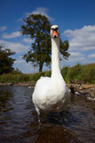 Mute swan Stock Photos