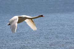 Mute Swan. In Flight Over Water In Sun Stock Images