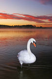Mute Swan. At sunrise in Strathclyde Country Park Royalty Free Stock Photos