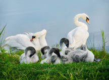 Mute swan. Royalty Free Stock Photography