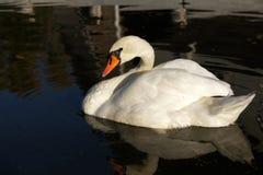 Mute swan Royalty Free Stock Photo