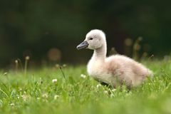 Free Mute Swan Royalty Free Stock Images - 17952829