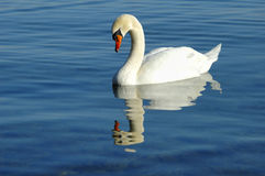 Mute Swan. An adult Mute Swan (Cygnus olor) swimming on a still blue lake Stock Photos
