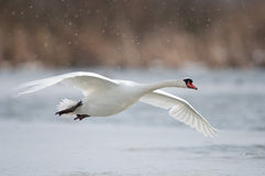 Mute swan Royalty Free Stock Photography