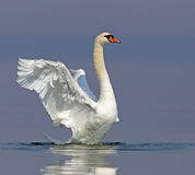 Mute swan. Flapping its wings royalty free stock photos