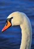 Mute Swan. Taken as the sun is going down stock photos