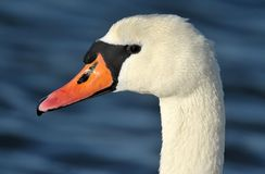 Mute swan. A mute swan as portrait Stock Photos
