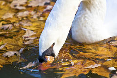 The Mute Swan Royalty Free Stock Photos