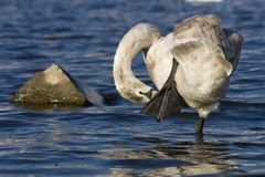 Mute Swan Royalty Free Stock Photo