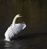 Mute Swan. This beautiful Mute Swan was photographed at Slimbridge WWT in the UK Stock Images