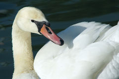 Mute Swan. The close-up Mute Swan royalty free stock images