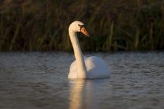 Mute swan. In nature park Meinerswijk, Netherlands Stock Image