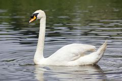 Mute Swan. A Mute Swan (Cygnus olor) glides across Lake Bolam, near Belsay in Northumberland, United Kingdom royalty free stock photos
