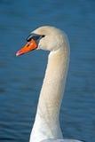 Mute Swan Stock Photography