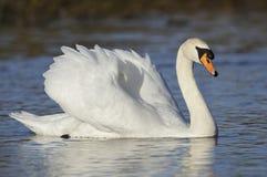 Mute Swan. Cygnus olor Cob stock images