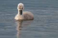 Free Mute Swan Royalty Free Stock Photos - 30047348