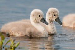 Free Mute Swan Stock Photography - 30047362