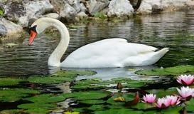 Free Mute Swan Stock Photography - 31754892