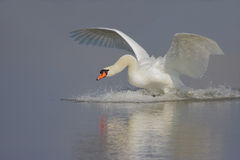 Free Mute Swan Royalty Free Stock Images - 35515639