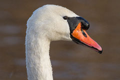Mute Swan. A Mute swan close-up Royalty Free Stock Image