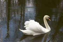 Mute swan. Swimming on a lake Royalty Free Stock Images