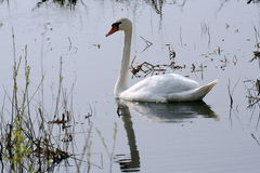 Mute swan. With reflection in water, Biebrza National Park, Poland Royalty Free Stock Photography